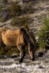 photodune-460007-wild-mustang-horse-grazing-xs