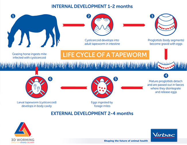 Tapeworm Lifecycle