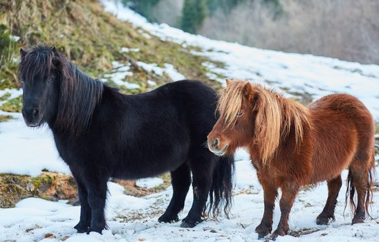 Horse Breeds Series: Shetland Pony