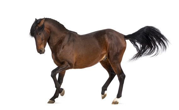Horse Breed Series: Andalusian