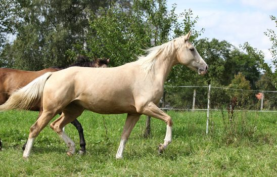 Horse Breed Series: Palomino